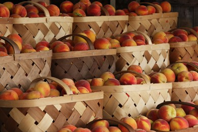 baskets of harvested peaches